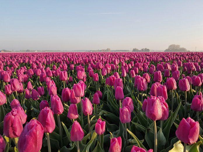 Prachtige tulpenvelden op Goeree-Overflakkee in Zuid-Holland