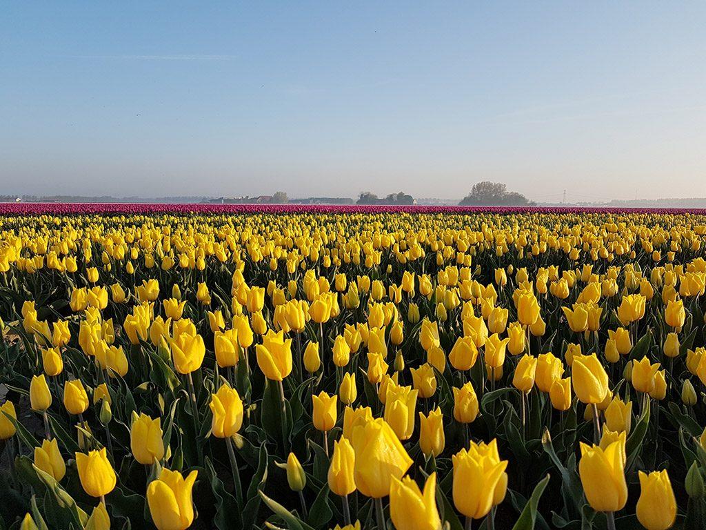 Prachtige gele tulpen in Oude-Tonge op Goeree-Overflakkee