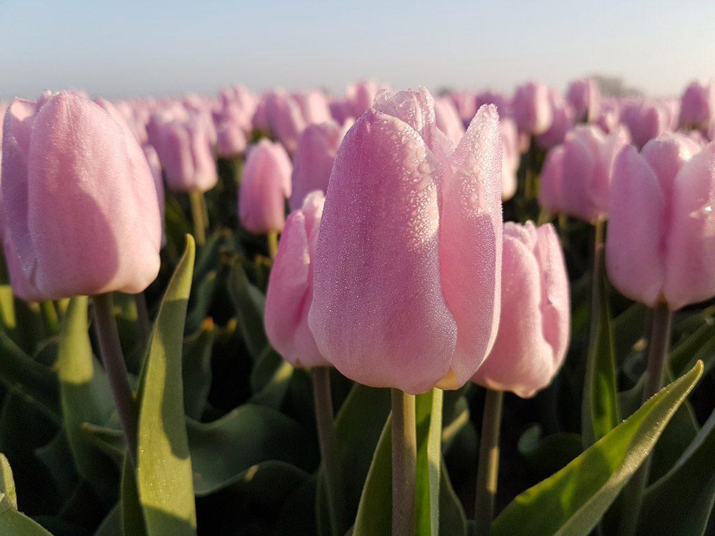 Ochtenddauw op deze roze tulpen in Oude-Tonge op Goeree-Overflakkee