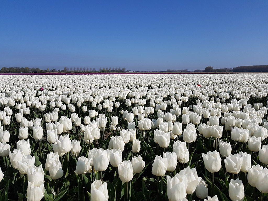 Witte tulpen bij Nieuwe-Tonge op Goeree-Overflakkee