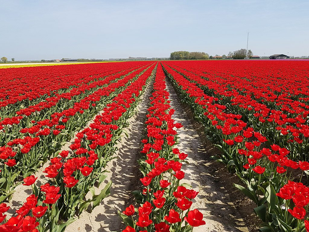 Prachtige rode tulpen in Ooltgensplaat op Goeree-Overflakkee