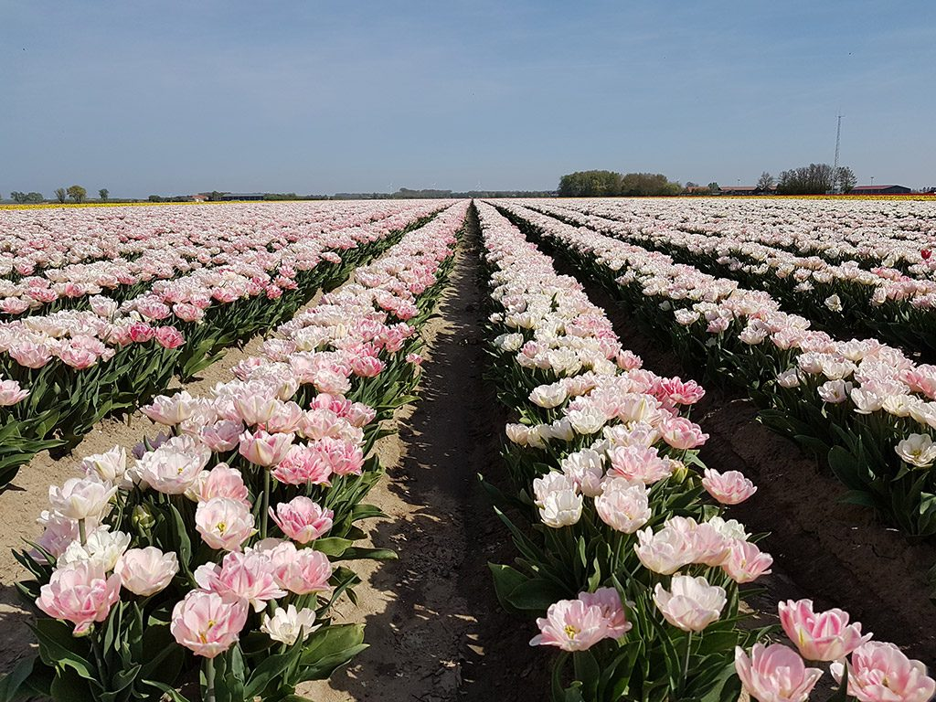 Roze bloemenvelden in Ooltgensplaat op Goeree-Overflakkee